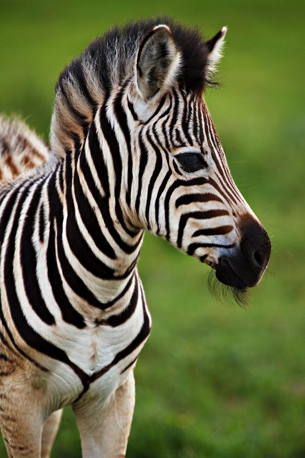 Baby Zebra of Tala