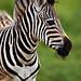 Image: Baby Zebra of Tala