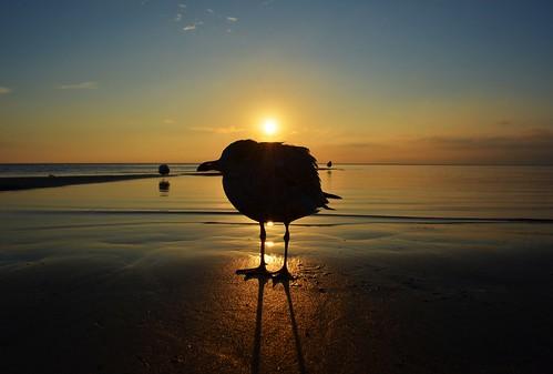 morning shadow sun seagulls lake ontario canada beach water birds silhouette burlington sunrise nikon wildlife gull lakefront bfg d5100