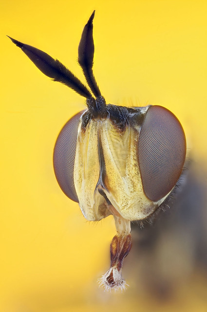 Extreme Hoverfly