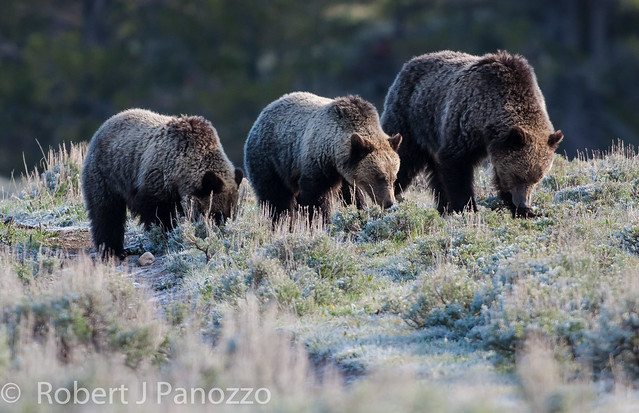 Tri-feed-ca of Grizzlies