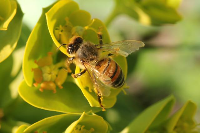 Biene auf Walzenwolfsmilch