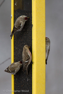Hoary Redpoll with Common Redpolls | by zeledonia