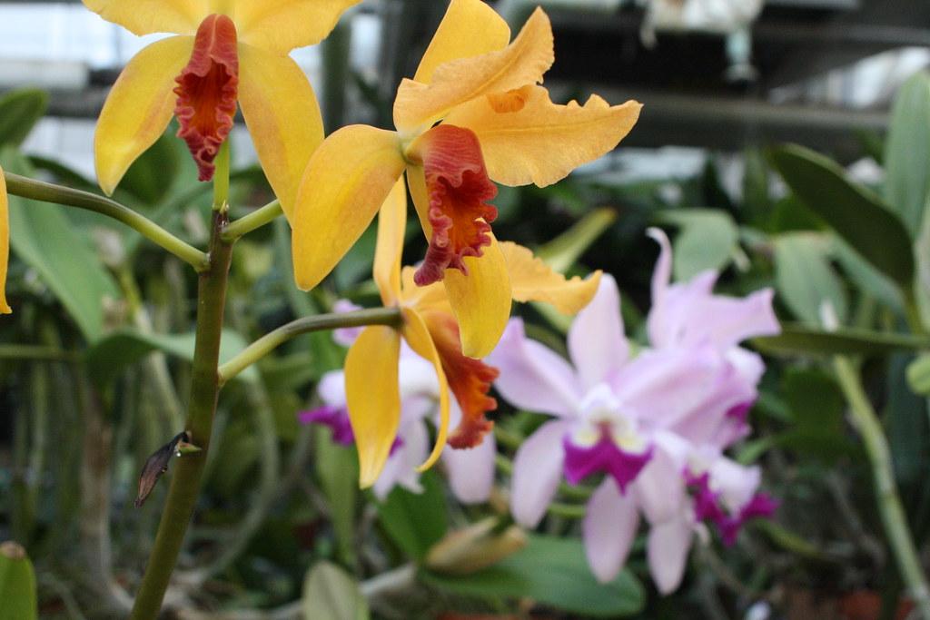 Grodske 39 s gold missouri botanical garden 2013 orchid - Orchid show missouri botanical garden ...