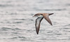 Shearwater on the Wing by Rick Derevan
