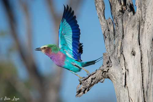 Lilac Breasted Roller taking off | by Photography by Brian Lauer