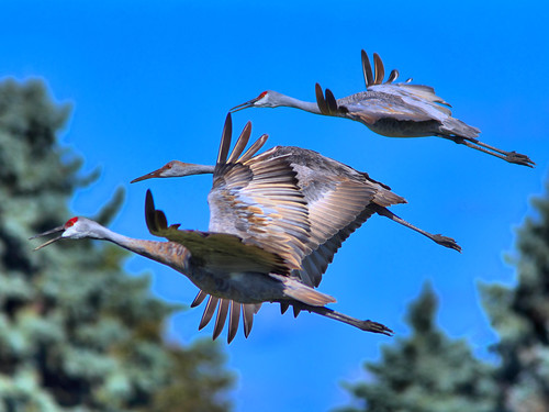 Sandhill Cranes in flight HDR 02-20160926