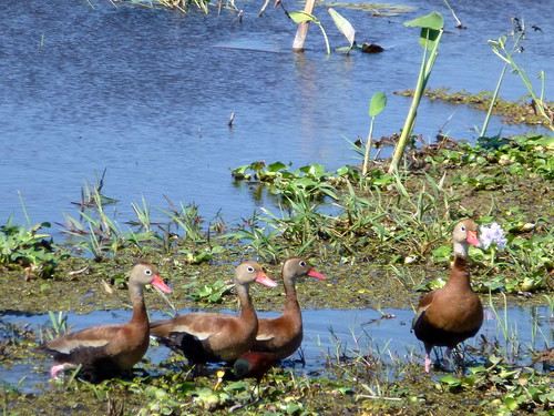 Parque Nacional Palo Verde - eenden