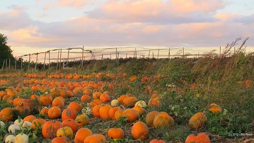 pumpkin connecticut middlefield autumne