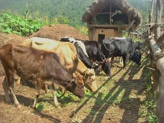 cattles in Liwang Rolpa