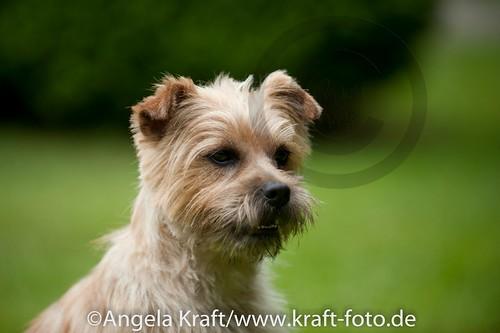 Angela Kraft 15062012 Cairn Terrier 8 | by Angela Kraft