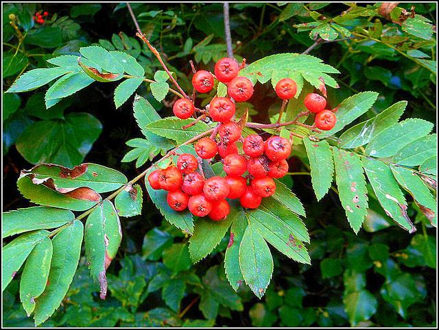 Rowan Berries ..