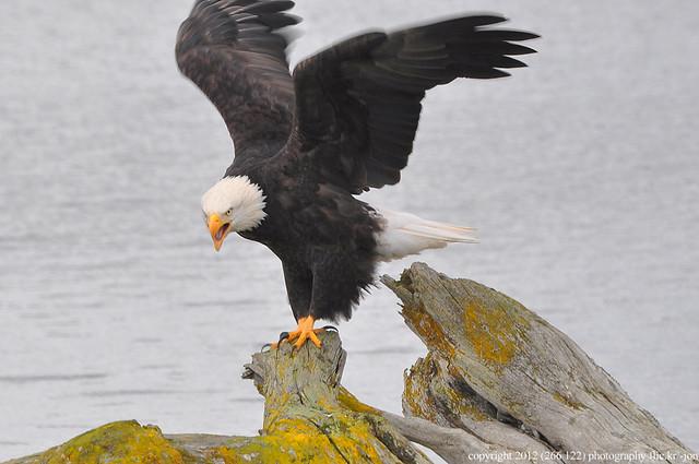 2012-10-19 Bald Eagle (06)  (1024x680)