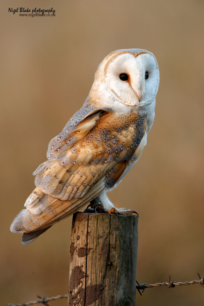 Barn Owl Tyto Alba Perched On A Fence Post In The Fens