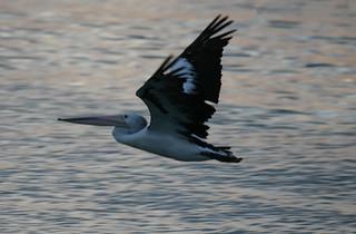 pelicans | by bertknot