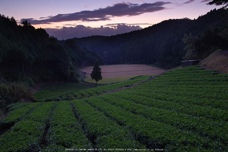 山添村,お茶畑(K70_0997G,16-mm,F8,iso100)2016yaotomi_T