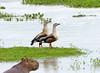 Pato Carretero, Orinoco Goose (Neochen jubata)  by Francisco Piedrahita