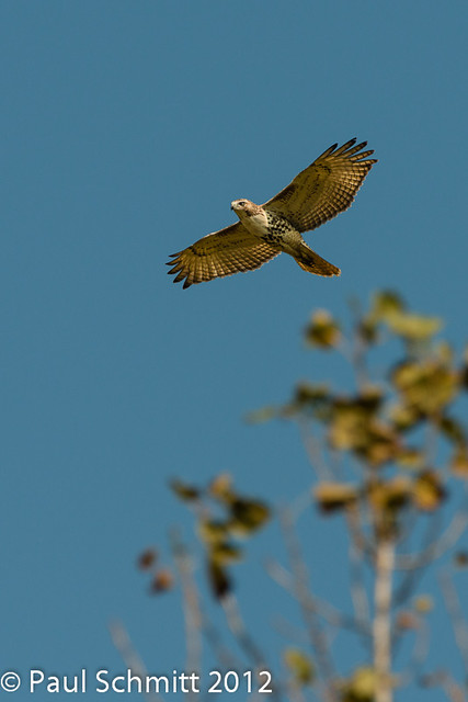 Redtail Hawk fly-by.
