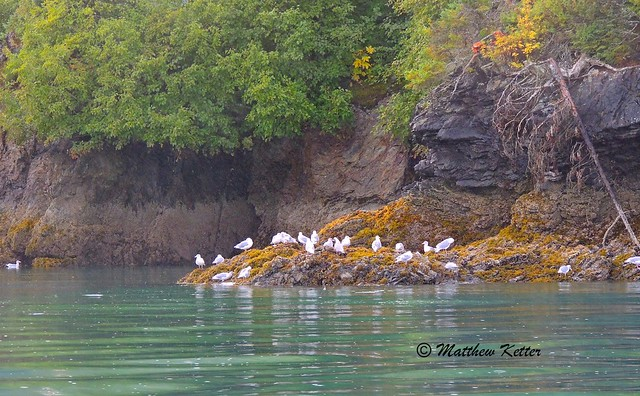 Gulls on Shore of Halibut Cove, Alaska