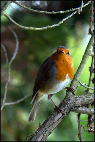 robin watch ... | by John FotoHouse