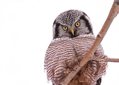 canada birds animals canon winnipeg wildlife manitoba owls 50d canonef400mmf56l avianexcellence owlnorthernhawk amazingwildlifephotography