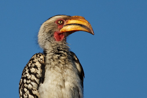 Portrait of a Southern Yellow-Billed Hornbill