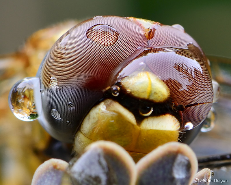 Dragonfly Compound Eyes Macro | A closer look at the compoun… | Flickr