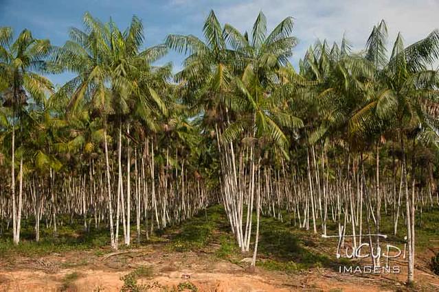 Plantação de Açaí.