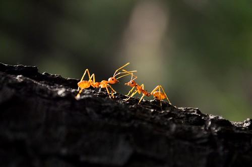 india macro love nature beautiful insect photography asia mini ants tropical westbengal insecta weaverants nikond5100 beautifulbengal