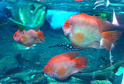 Parrot Cichlids in the Amazon Rainforest exhibit | by ellenm1