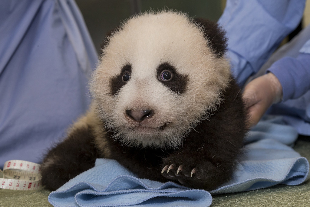 Panda Cub 12th exam | Watch the cub grow on Panda Cam: sandi