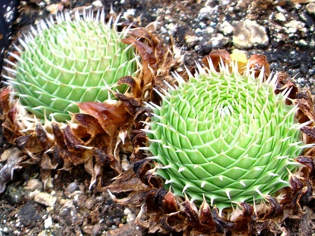 Orostachys spinosa (L.) Sweet form 15