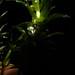 Flickr photo 'Hydrilla verticillata (L. f.) Royle' by: Reinaldo Aguilar.