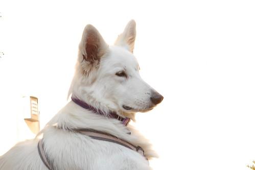 White Dog on White Background | by zeevveez