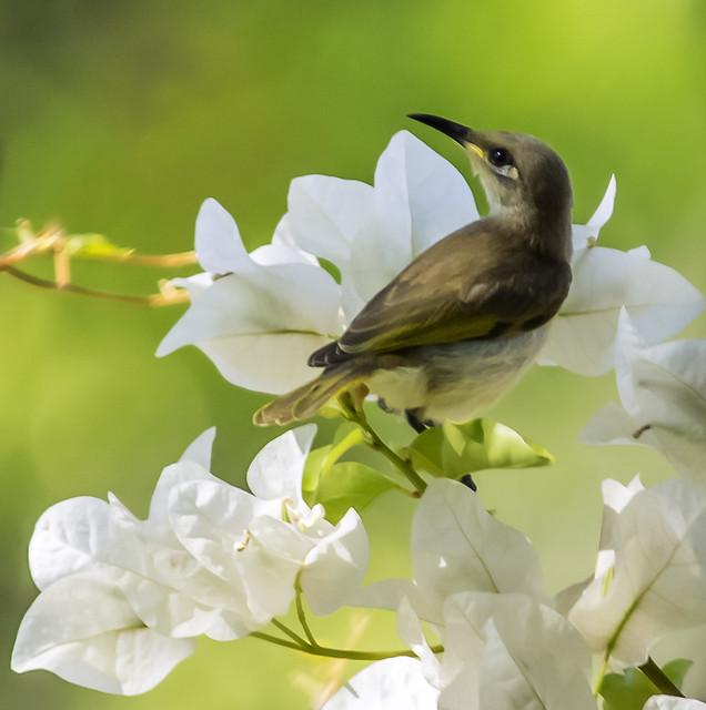 small bird series: the nectar hunters