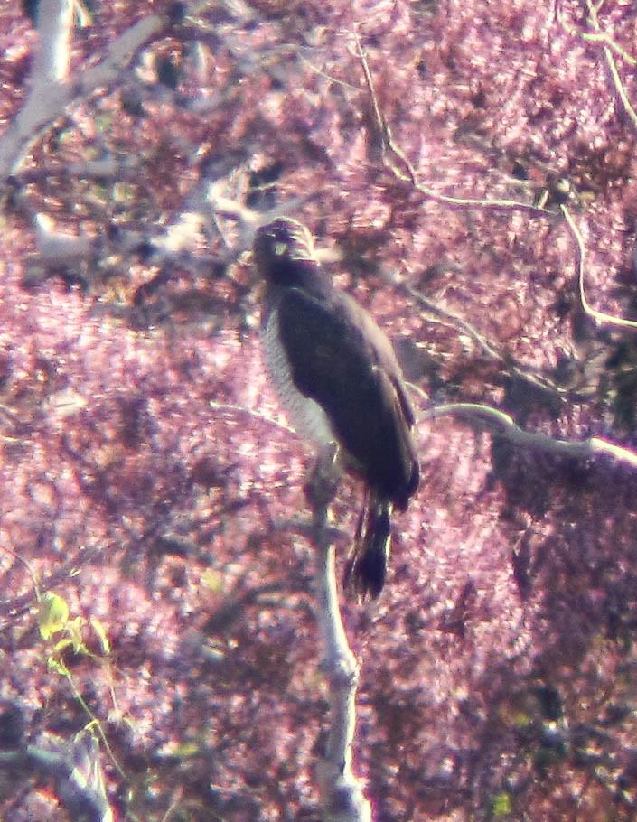 Würgadler, dunkle Morphe, sitzt über rosa Kronendach (Morphnus guianensis), NGIDn1115429877