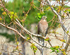 Gray-faced Buzzard eagle (Butastur indicus) Winter dweller by Okinawa Nature Photography