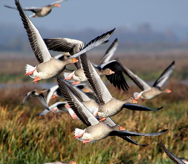 Earth Flight Geese