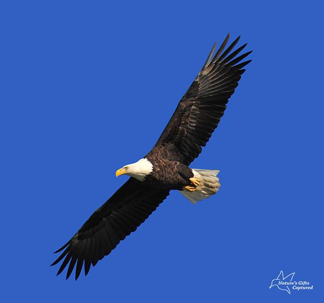 Bald Eagle Conowingo Dam