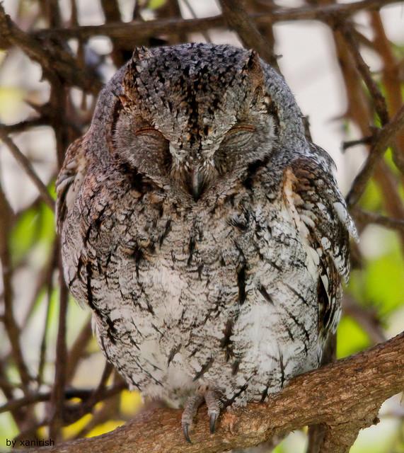 Mocho-d'orelhas Africano - African Scops Owl [Otus senegalensis] - em Liberdade (WilLife)