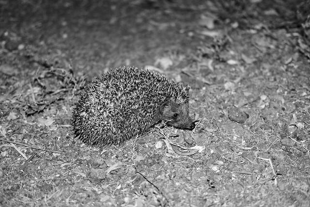 abandoned hedgehog ~ ouriço abandonado
