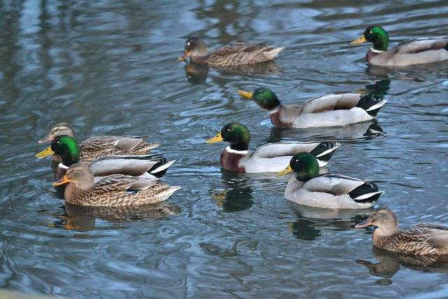 Mallards on High Woods Country Park Lake