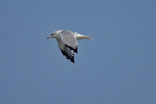 Сизая чайка, Larus canus, Common Gull | by Oleg Nomad