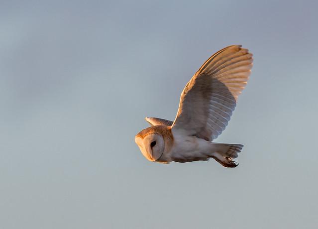 DSC0918  Barn Owl..