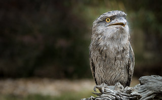 Excited Tawny Frogmouth (Podargus strigoides) | by Wade Tregaskis