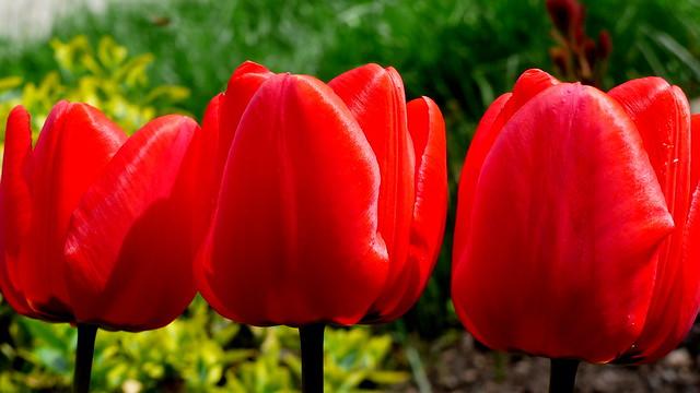 Czerwone tulipany.