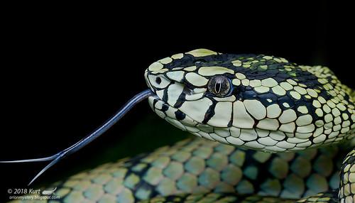 Trimeresurus sumatranus_MG_0115 copy | by Kurt (OrionHerpAdventure.com)