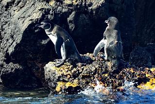Галапагосский пингвин, Spheniscus mendiculus, Galapagos Penguin | by Oleg Nomad