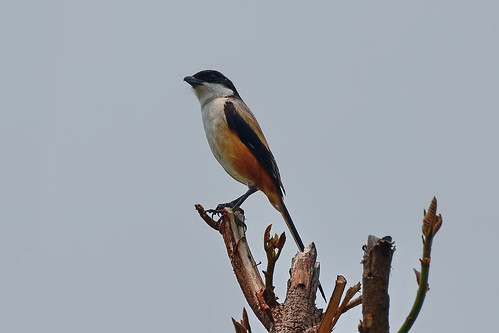 Длиннохвостый сорокопут, Lanius schach tricolor, Long-tailed Shrike | by Oleg Nomad