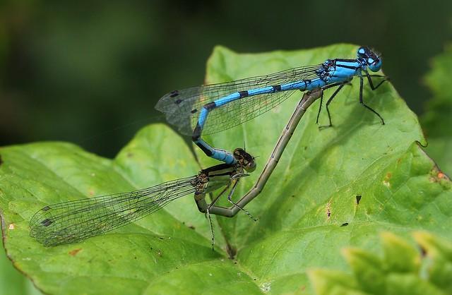 Common Blue Damselfly (4)